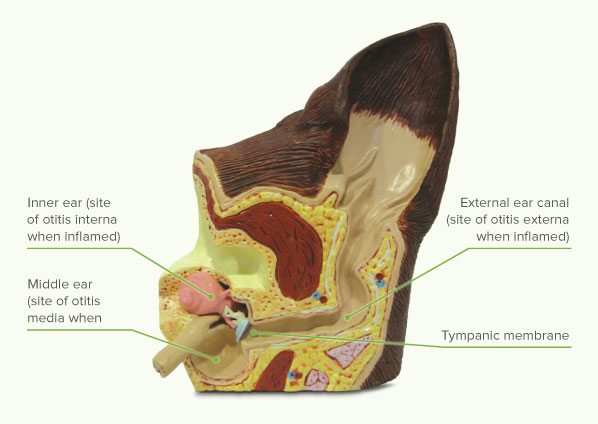 Figure 2: Cut-away of the normal ear structures
