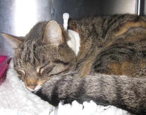 A cat with an oesophagostomy tube comfortably in place
