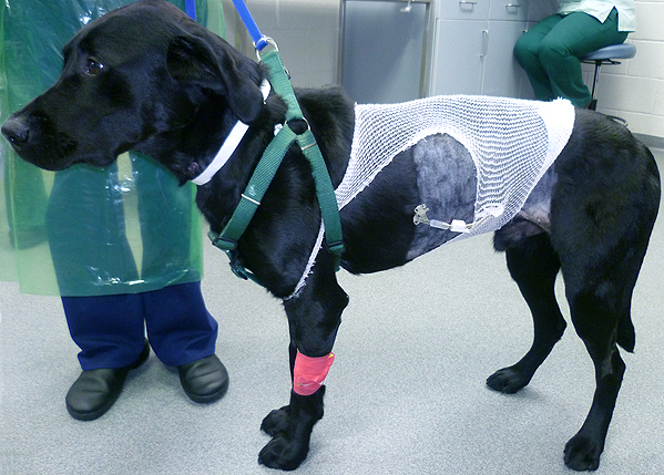 A dog with a gastrostomy tube, which allows food to be introduced straight into the stomach