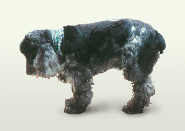 Cocker Spaniel showing low head carriage due to cervical disc disease