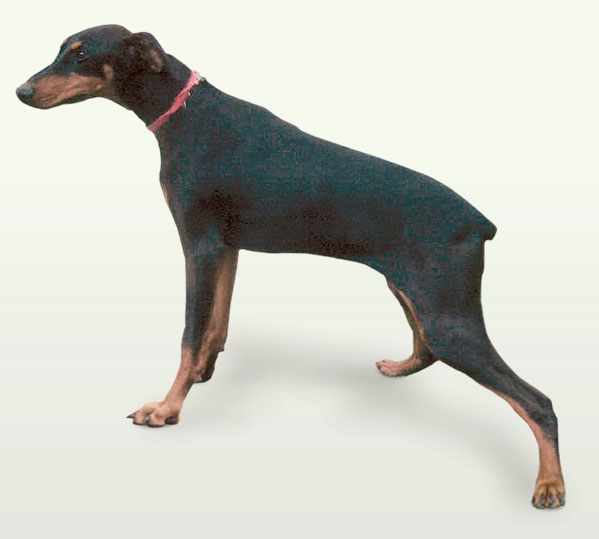 Typical Doberman with a wide-based hind limb stance