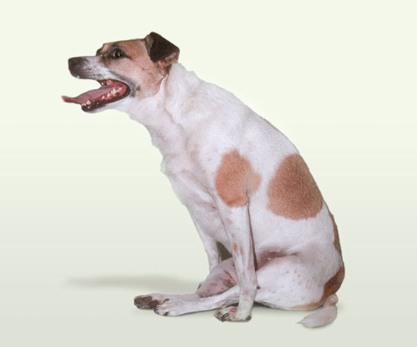 A paralysed terrier with a slipped disc