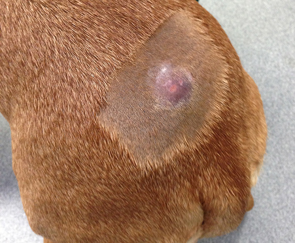 A mast cell tumour on a dog's back