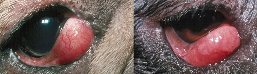 Cherry Eye in Dogs (Third eyelid gland prolapse)