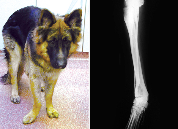 Photograph and X-ray of a German Shepherd Dog showing a deformed antebrachium (forearm). The right paw deviates outwards.