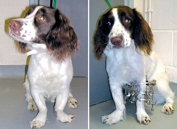 This Springer Spaniel has deformity of both fore limbs. The limbs are S-shaped with the paws deviating to the outside. The left deformity has been corrected and the cut bones stabilised with a circular external skeletal fixator.