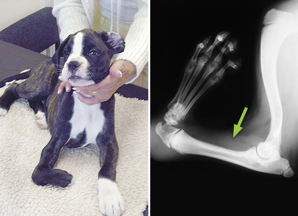 A Boxer pup with a shortened, deformed right forelimb due to one the forearm bones (the radius) not forming during development, a condition known as radial agenesis