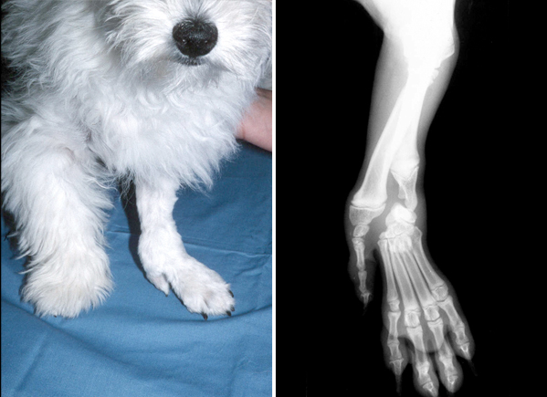 A West Highland White Terrier pup with a deformed left forelimb. The paw is not connected to the radius which is the principle weight bearing bone in the forearm. As a result the paw is collapsing to the outside of the limb. A condition known as 'ectrodactyly'.