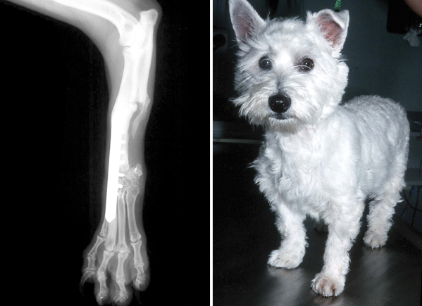 X-ray and photograph of the same West Highland White Terrier as an adult dog, showing how the paw has been transposed from the ulnar bone and fused to the radius.